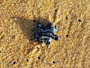 """Variety of """"amazing"""" stingers wash up on Coast beaches"""
