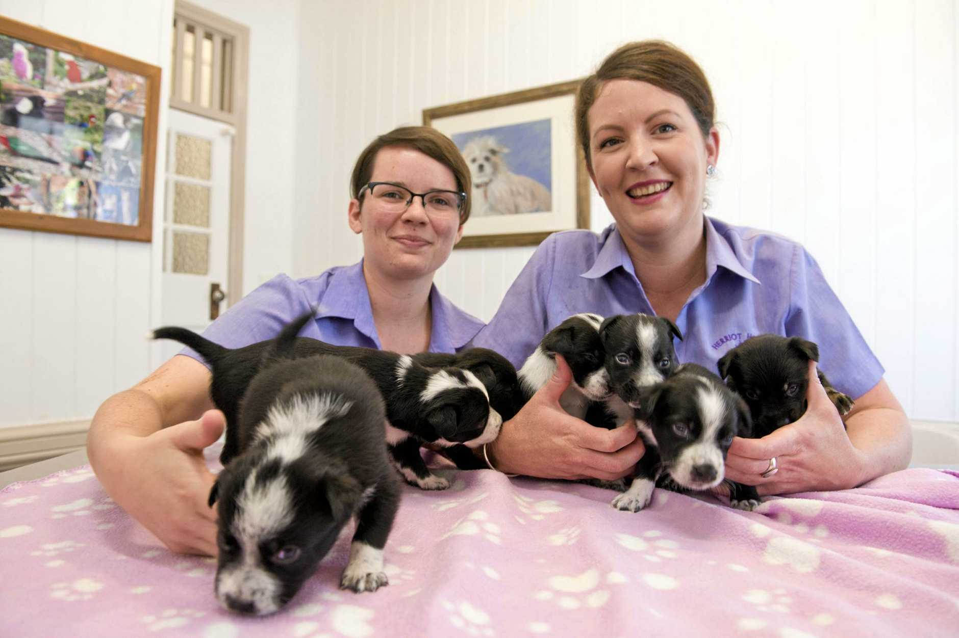 Herriot House veterinary nurses Alex Baker (left) and Hannah McNeill with seven puppies found dumped in Jondaryan.