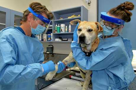 HELPING HANDS: Nicklin Way Vet Surgery owners Doug Gray and Melissa Jonkers treat Zeus, who is suffering from cancer.
