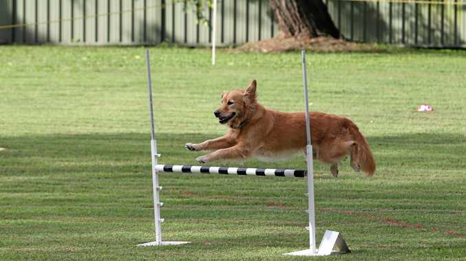 JUMPING FOR JOY: Abby the golden retriever in action. Sunshine Coast Dog Obedience Club will host a Rally-O and Obedience competition.
