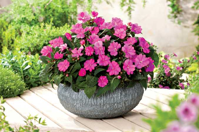 Sunpatiens are also fantastic in pots, flowering non-stop throughout the year.