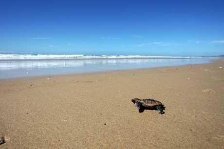 A little baby turtle released at Marcus Beach.Photo: Cade Mooney / Sunshine Coast Daily