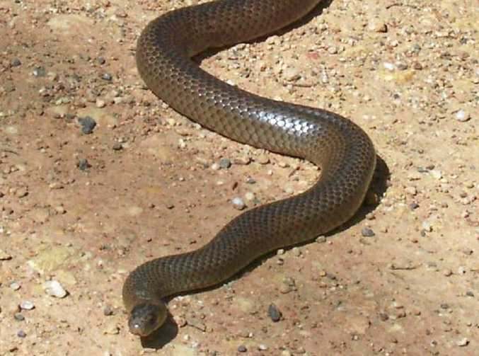 The Esatern Brown snake is found in areas from as far away as the Kimberley, across the Territory and right along the east coast of Australia. They are responsible for the most number of human deaths by snake bite than any other breed.