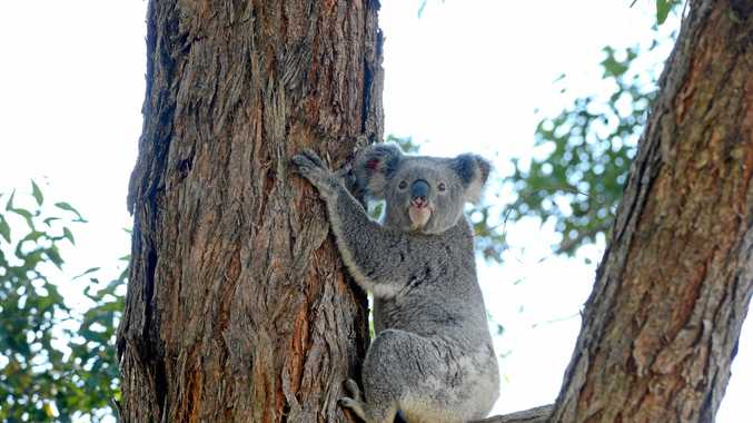 Flossie the koala happy to be released at her new home in Rous Mill. Photo Cathy Adams / The Northern Star