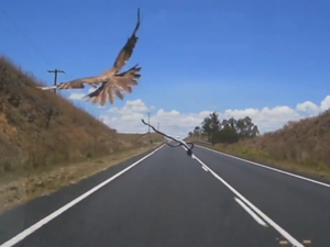 Dash Cam: Bird drops snake on car