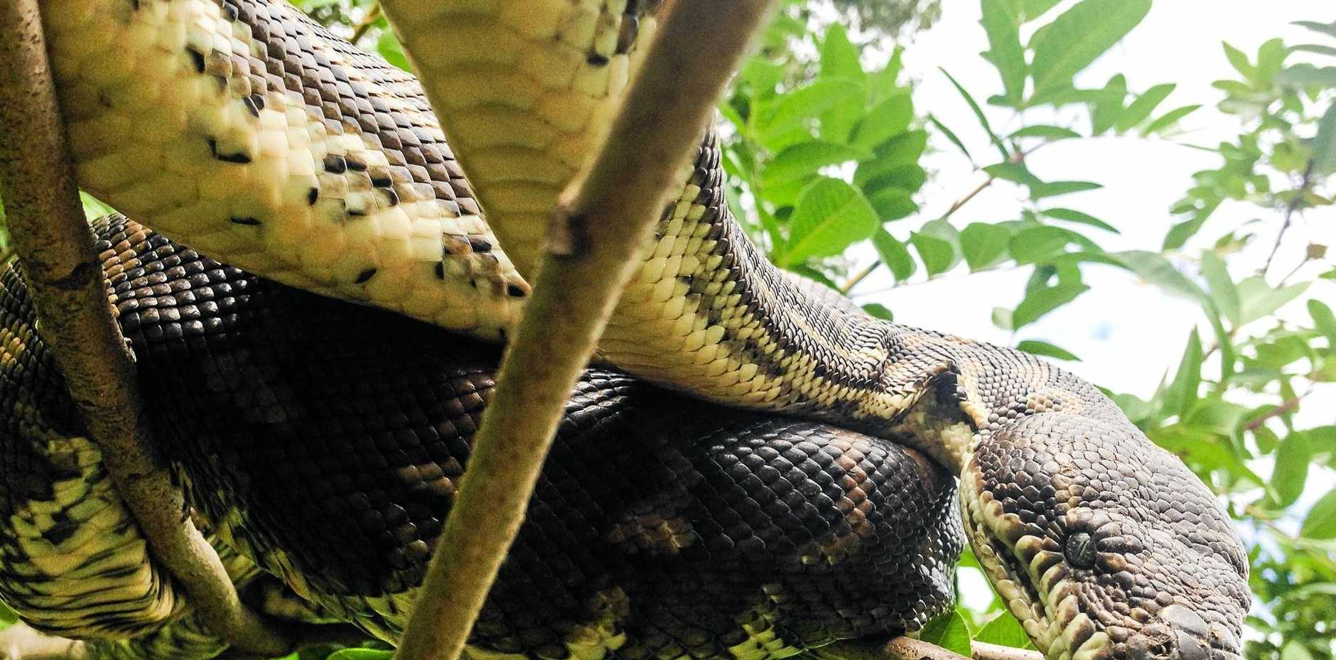 A carpet python spotted in a tree in Nambour.