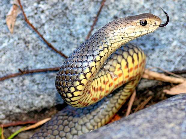 Ipswich and Brisbane snake catcher Bryan Robinson says it's wet weather, not summer heat which brings snakes out.