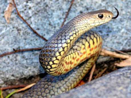 An eastern brown, a venomous snake.