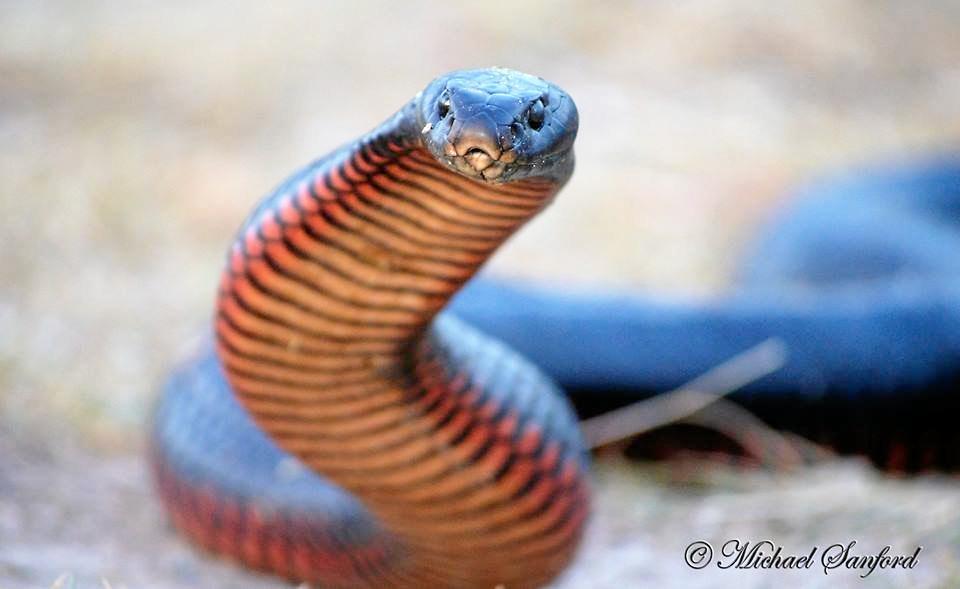 SNAKE DANGER: A red-bellied black snake in Nanango.