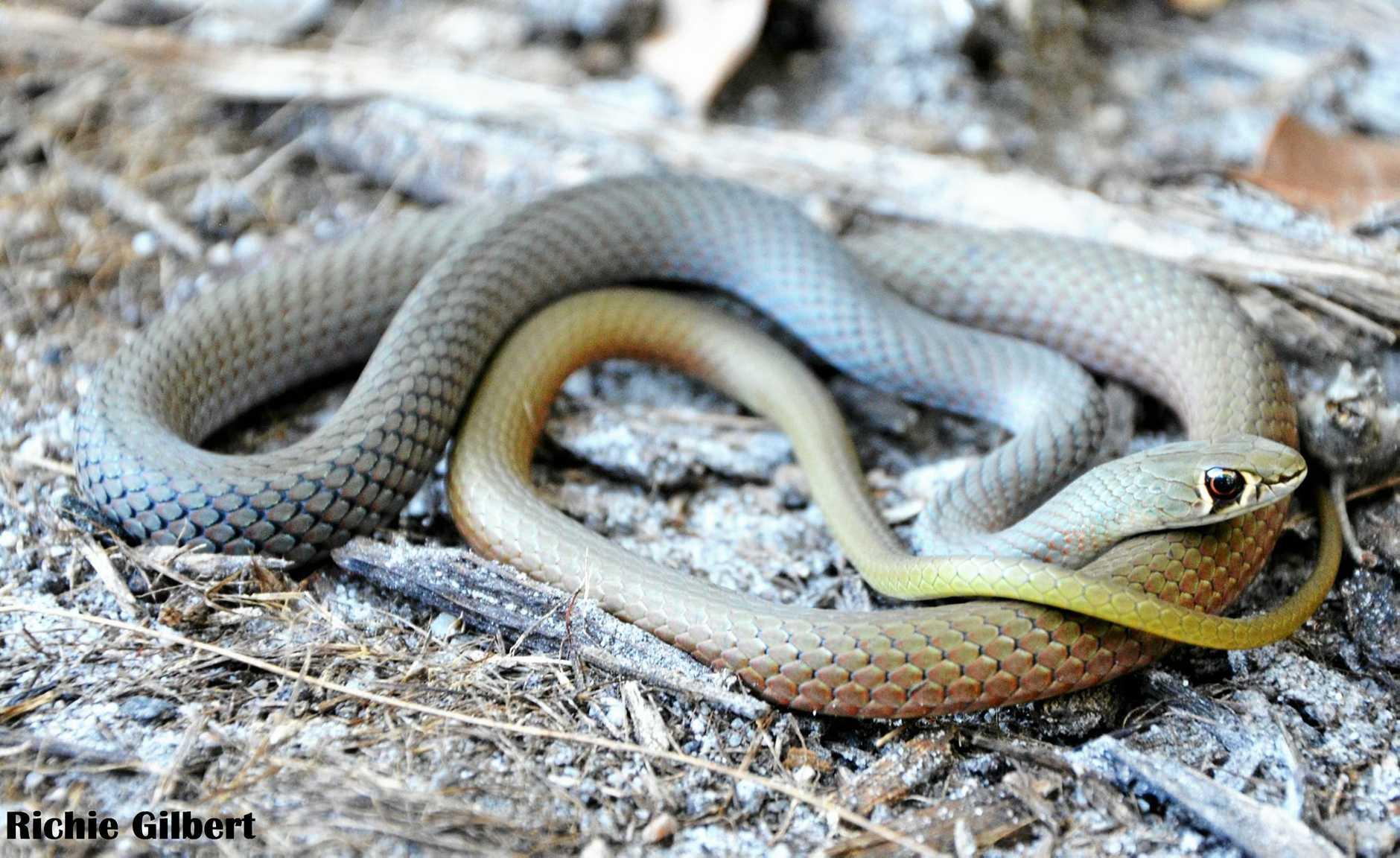 Yellow Faced Whip Snake Richie Gilbert