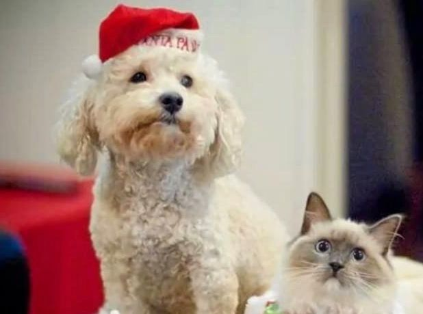 Even pets can get into the Christmas spirit.