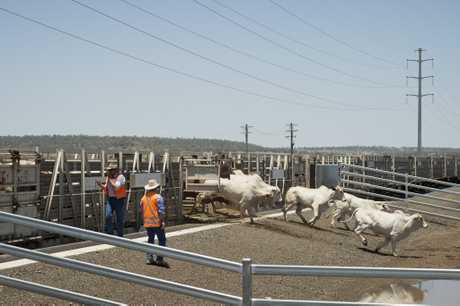Cattle from western Queensland are delivered by train to Oakey Beef Exports abattoir for the first time in 23 years, Wednesday, November 30, 2016.