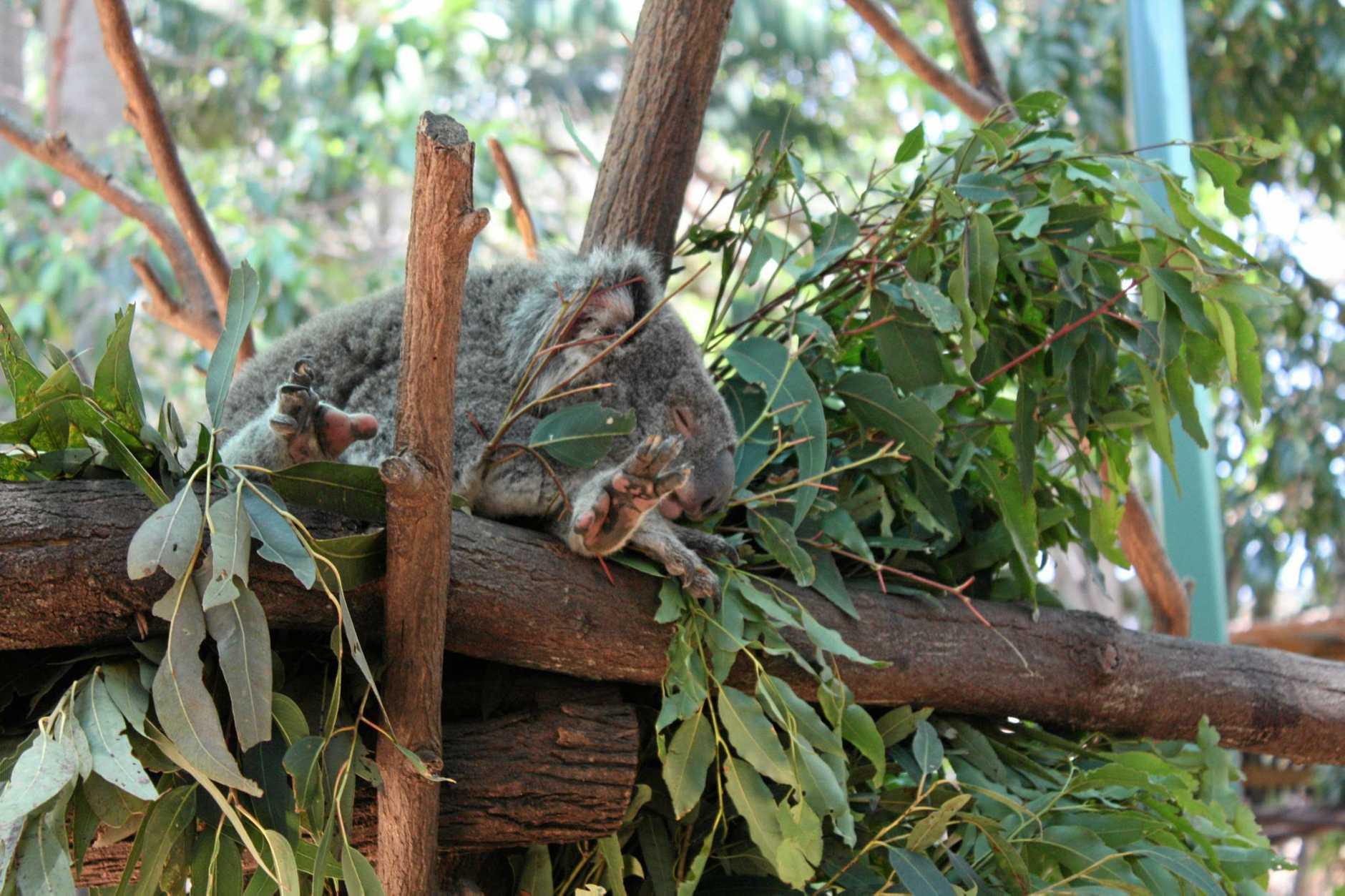 A koala takes a nap at Currumbin Wildlife Sanctuary.