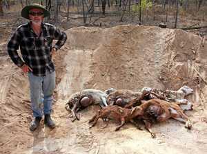 Wild dog kills nine sheep in Durong