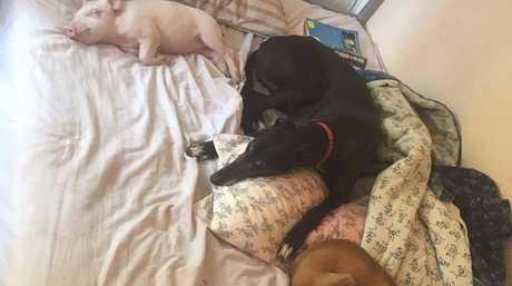 Dreamy enjoys nap time with the Sugarshine FARM Sanctuary dogs.