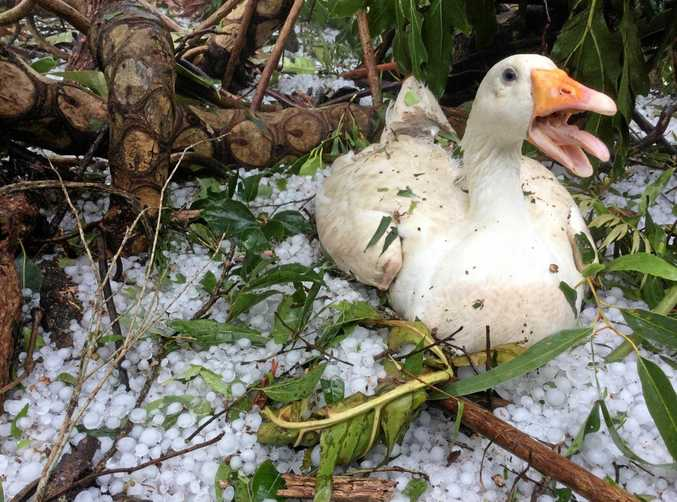 HAIL HERO: A mother-to-be goose outside Levi Ravenswood's home at Conondale never left her post during Thursday afternoon's storm but sadly, she still lost her babies.
