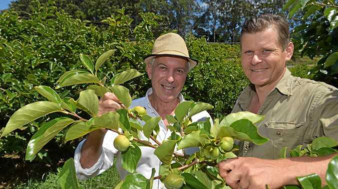 ABOVE: Nambour farmer Steve Jeffers and Graeme Sait (left) inspect a crop of persimmon.