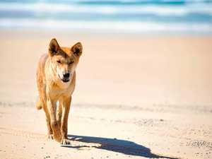 'Major risk time' for Fraser Island dingoes over Christmas