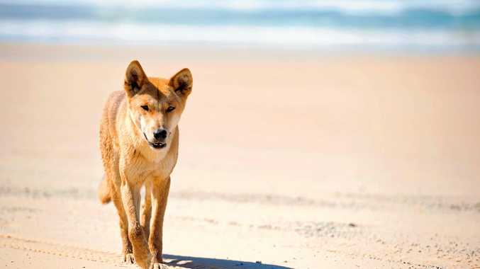 One of the well renowned dingoes of Fraser Island.