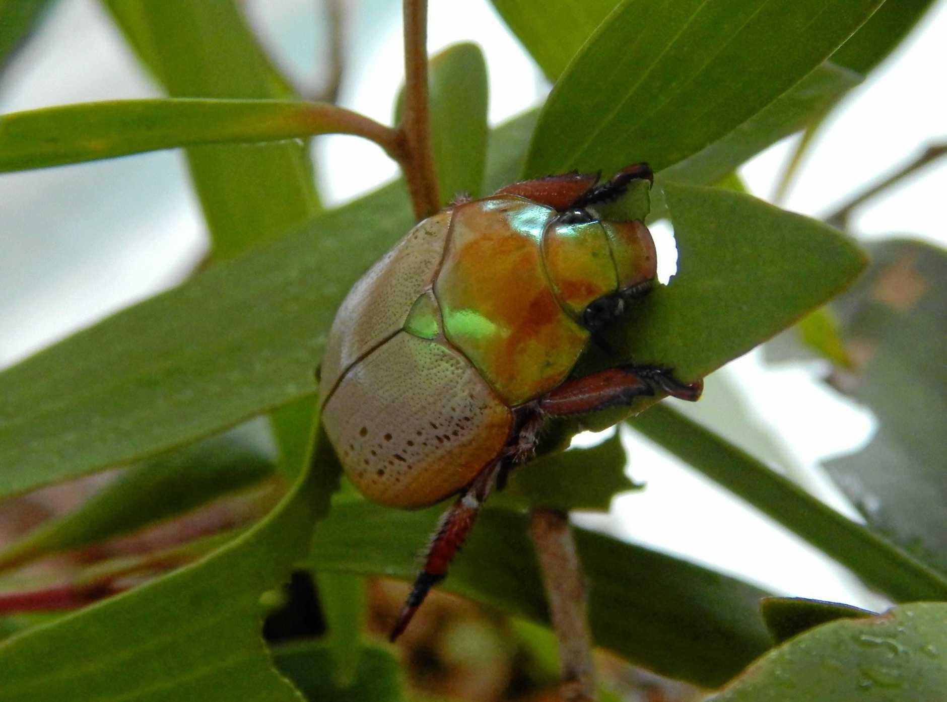 A Golden Christmas Beetle enjoying some eucalyptus leaf.