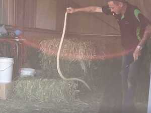 Massive brown snake found slithering in rafters