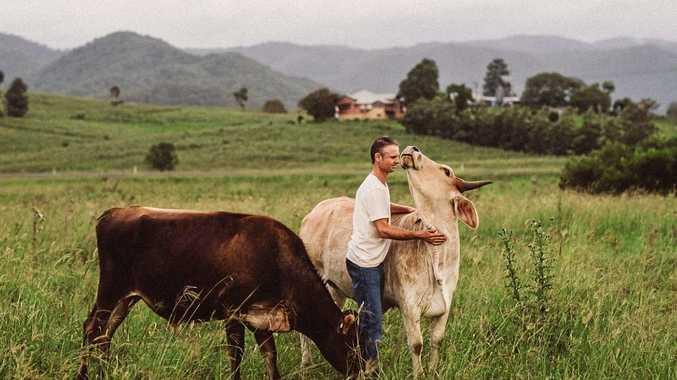 the maleny sanctuary saving cows from saleyard sunshine coast daily