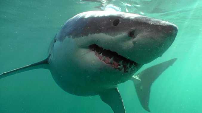 SPOTTED: Great white shark.