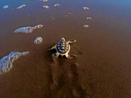 Trudy Sheppard captured this photo of a hatchling making its way to the water on Curtis Island this week.   Photo Trudy Sheppard
