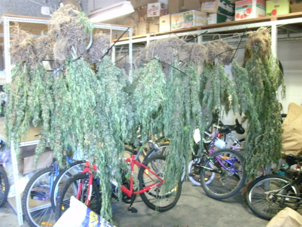 DRUG RAIDS: Police seized 500 marijuana plants during raids in the Bundaberg area targeting unlawful drug activity. Photo Contributed