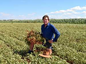 North Burnett peanut farmer welcomes rain