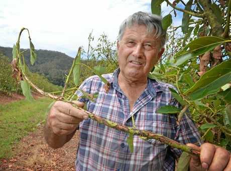 DEVASTATED: Rob Price of Imbil with his damaged avacado trees after golf ball size hail hit last week.