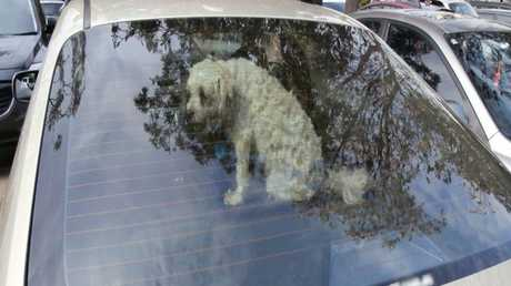 A dog left in a car on a sweltering Sunshine Coast day.