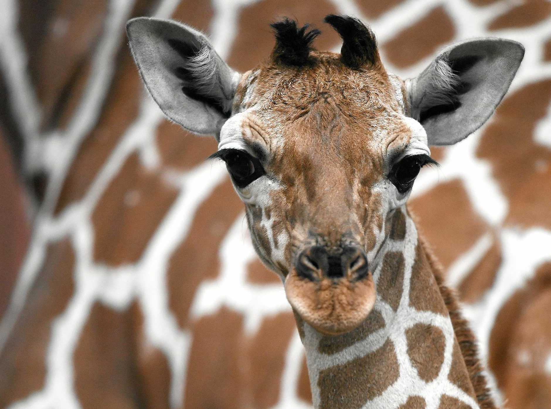 Giraffe numbers have fallen dramatically since the 1980s.