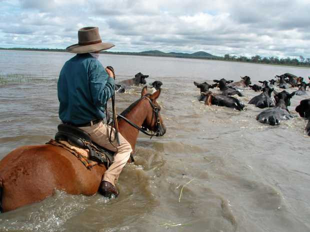 Lawson Geddes moving the Brangus cattle to higher ground - which is the land the Defence Department is interested taking for the Shoalwater Bay expansion.