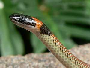 'That's not a brown!': Rare snake found lurking