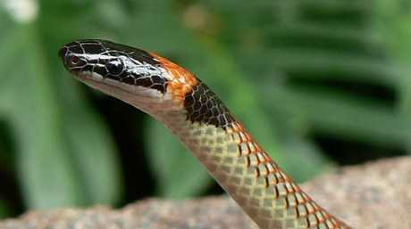 Red-naped snakes are considered harmless.