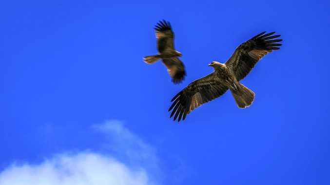 BIRDS OF PREY: Kites flying in the Tweed sky.