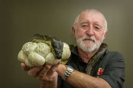 WIRES snake rescuer Paul Jones with a snake and her eggs retrieved from a house in Turf Street.