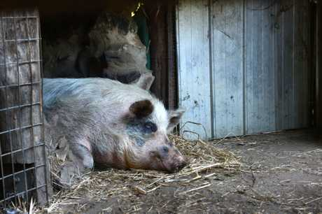 Polly the pig is resting in her pen at Djanbung Gardens after a vicious attack early Wednesday morning.