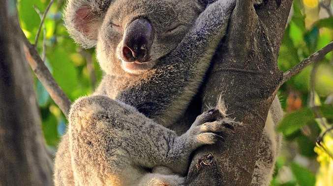 KOALA TOLL: Mr Cuddles was a popular Noosa koala who is part of the growing fatalities.