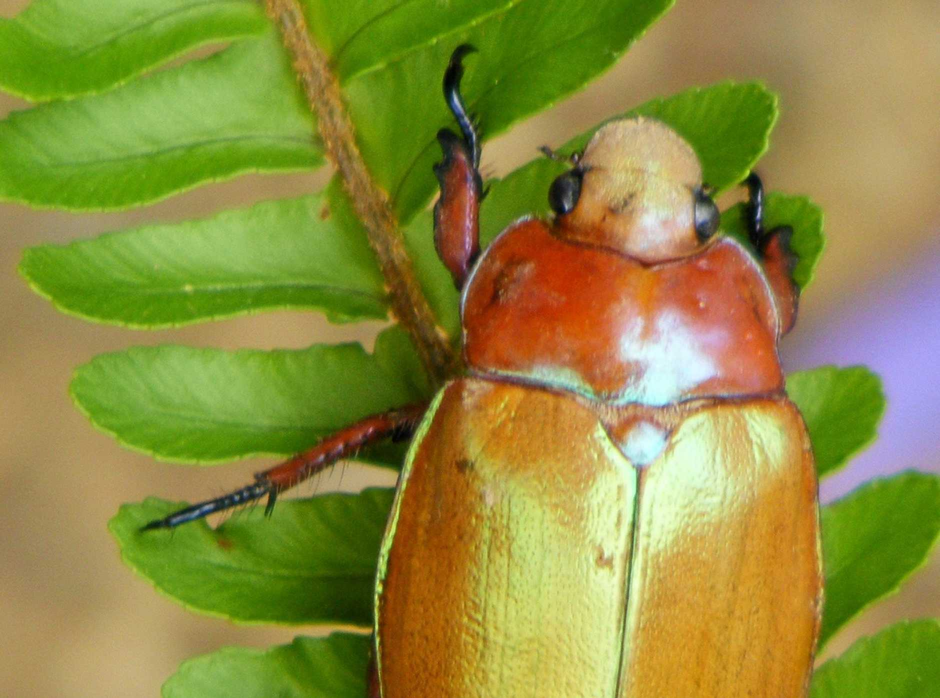 Christmas Beetle.Scientists Need Your Help To Name Christmas Beetle Species