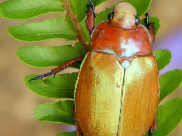 BEAUTIFUL BEETLE: A rare chance to give new names to varieties of Christmas beetles.