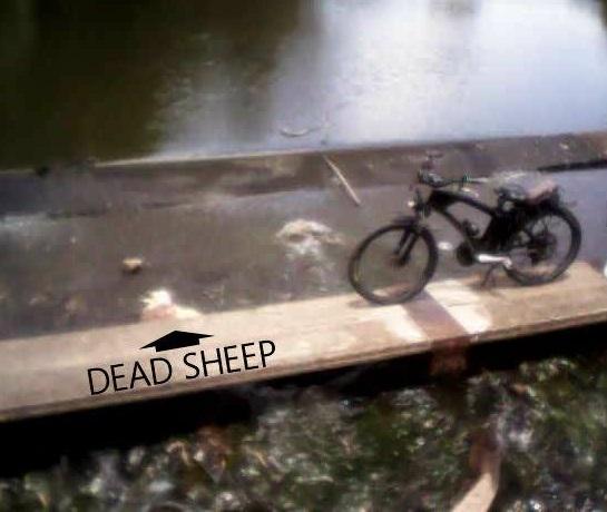 Dead sheep in Condamine River at Warwick