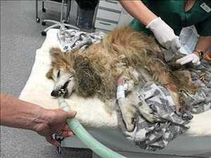 Shetland sheepdog left for dead