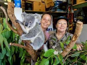 New technology will save Ipswich koalas from land clearing