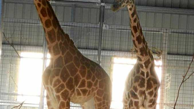 AMAZING ANIMALS: Darling Downs Zoo has welcomed two giraffes named Lily and Tulip which will go on display to the public on Boxing Day.