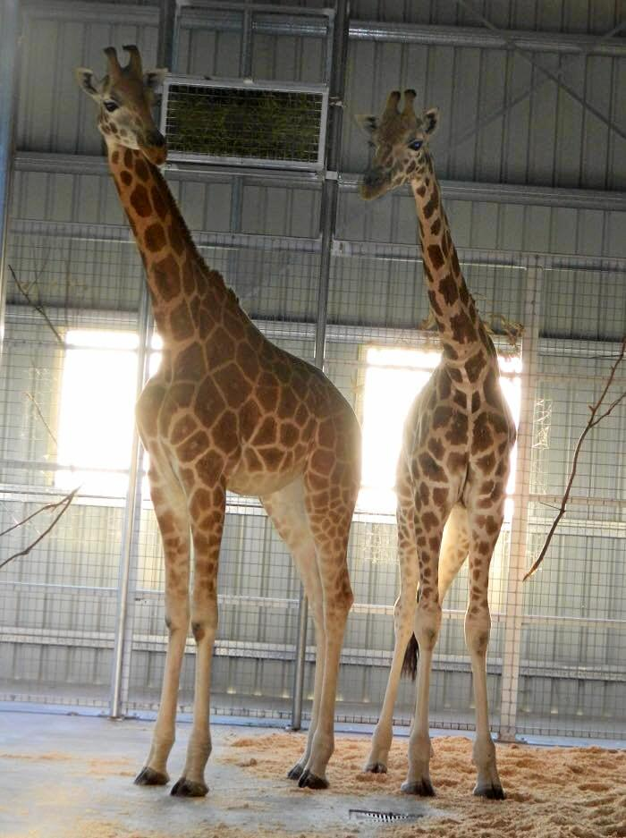 Darling Downs Zoo has recently welcomed two giraffes which will go on display to the public on Boxing Day.