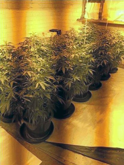 One of the cannabis plant set-ups seized during the operation.