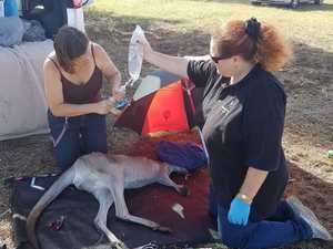 Team of carers come to aid of roo shot by arrow