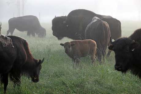 FAMILY TIME: Bison have less calving problems than domesticated cattle.